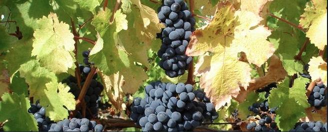 Le vignoble du château de Montreuil Bellay : couleur d'automne à l'heure de la vendange.